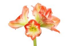 Цветки амарулиса изолировали стоковые фотографии rf