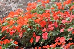 Цветки апельсина Impatiens Balsamina Стоковая Фотография RF