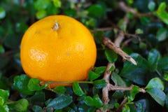 Цветки апельсина крупного плана Стоковое фото RF