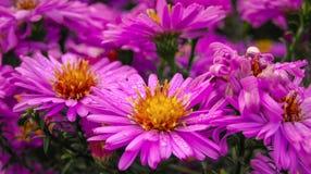 Цветки астры Стоковые Изображения