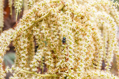 Цветки ладони бетэла Стоковое Фото