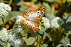 цветки бабочки белые Стоковые Фотографии RF