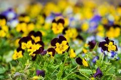 Цветки бабочки Виолы на поле травы внешнем Стоковое фото RF