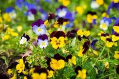 Цветки бабочки Виолы на поле травы внешнем Стоковое Изображение