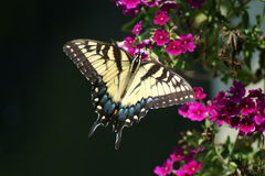 цветки бабочки красные Стоковое Фото