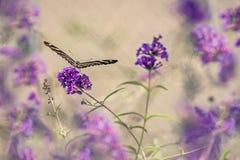 цветки бабочки пурпуровые стоковые фотографии rf