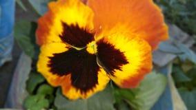 Цветки бабочки цвета черного зеленого оранжевого смешивания множественные стоковое фото