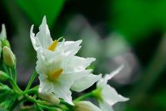 Цветки баклажана шикарный приглашать взгляда цветов стоковая фотография