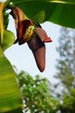 Цветки банана выступать большой сплющенный конус от центра бананового дерева на конце подсказки формируя пука бананов стоковое изображение rf