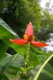Цветки банана в саде стоковое фото