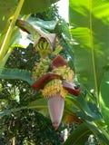 Цветки банана на дереве Стоковое Изображение