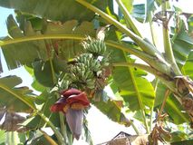 Цветки банана Стоковые Изображения