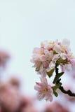 Цветки бегонии стоковые изображения
