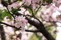 Цветки бегонии стоковая фотография rf