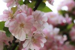 Цветки бегонии стоковое фото rf