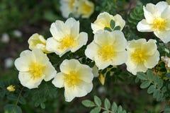 Цветки бедра белой розы Стоковые Изображения RF
