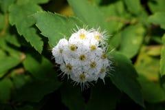 Цветки белого конца-вверх рододендронов стоковые изображения rf