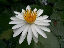 Цветки белого лотоса полное цветение, очень красивое стоковое фото rf