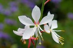 Цветки белого Gaura, завихряясь бабочки стоковое фото