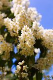 Цветки белой акации против зеленой листвы Стоковая Фотография RF