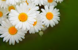 Цветки белой маргаритки изолированные на зеленом цвете Стоковые Фото