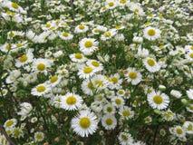 Цветки белой маргаритки лета в саде стоковые фото