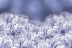 Цветки белые георгины на голубой предпосылке bokeh тюльпаны цветка повилики состава предпосылки белые Стоковое Фото