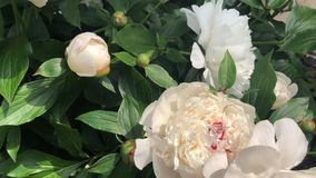 Цветки белых георгинов