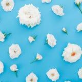 Цветки белых роз на голубой пастельной предпосылке Плоское положение, взгляд сверху playnig света цветка предпосылки Стоковое Изображение