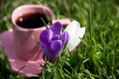 2 цветки, белизна и пурпура крокуса на пинке придают форму чашки wi предпосылки Стоковые Фото