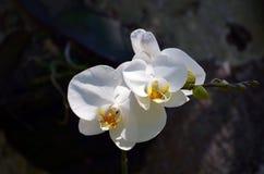 Цветки белого конца-вверх орхидеи в тропическом лесе стоковая фотография rf