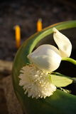 Цветки белого лотоса используемые для поклонения Будды Стоковые Изображения RF