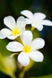 Цветки белого frangipani тропические стоковые изображения