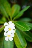 Цветки белого frangipani тропические стоковое изображение rf