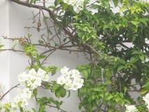 Цветки белой бугинвилии Bougainvillea Стоковая Фотография