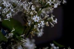 Цветки белой сирени с 7 лепестками на черной предпосылке Стоковые Изображения RF