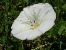 Цветки белый расти цвета Стоковое Изображение RF
