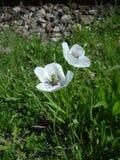 Цветки белых маков в солнечном свете Стоковые Изображения
