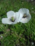 Цветки белых маков в солнечном свете Стоковое фото RF