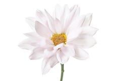 Цветки белых маргариток цветка маргаритки флористические Стоковое Изображение RF