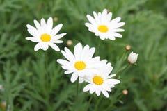 Цветки белых маргариток Стоковое Изображение RF