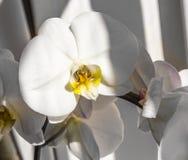 Цветки белых orchidFlowers белой орхидеи Стоковое Изображение RF
