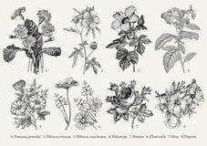 Цветки ботаники установленные рисуя стоцвет петуньи Heliotrope гибискуса первоцвета иллюстрации вектора гравировки викторианский  Стоковое Изображение RF