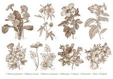 Цветки ботаники установленные рисуя стоцвет петуньи Heliotrope гибискуса первоцвета иллюстрации вектора гравировки викторианский  Стоковые Фото