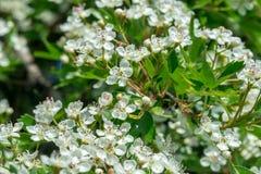 Цветки боярышника в мае Стоковая Фотография