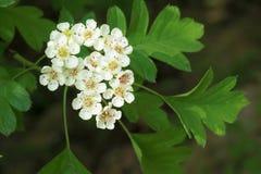Цветки боярышника Стоковое Фото