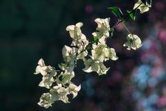 Цветки бугинвилии белые зацветая красиво стоковые фото