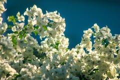 Цветки бугинвилии белые зацветая красиво стоковое фото