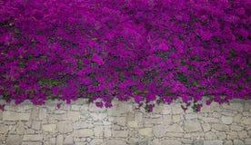 цветки бугинвилии близкие вверх зацветая бугинвилия Цветки бугинвилии как предпосылка вектор детального чертежа предпосылки флори Стоковые Изображения