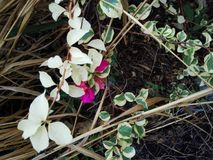 Цветки бугинвилии в покинутой фабрике scrubs стоковое изображение